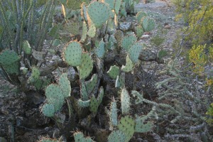 The packrats love to eat the Prickly Pear cactus
