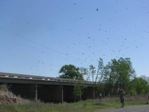 You can see some but not near all of the birds,,, there were hundreds!!! Every time I got close to the bridge they would all come out and swarm me. There were toms of nests under the bridge.