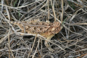 See the Horned lizard!!