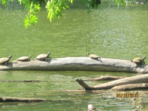 We ran across these turtles while on one of our walks.