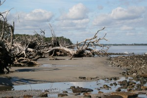 Part of Driftwood Beach on Jekyll Island