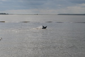 This Dolphin was having a great time paying around with 2 others and were about 40ft off shore