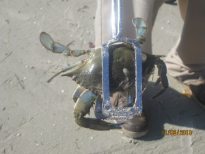 This is one of the blue Crab they caught