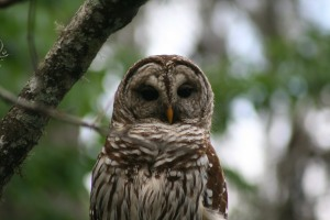 This Barred owl flew towards us and landed on a branch about 20' away.