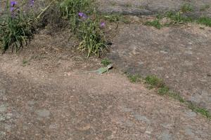 See the lizard? It's a Earless Texas Lizard.