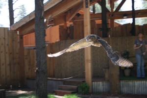Check out the Owl in flight.