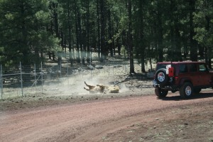 That Bison was having a roll in the dirt as Bob and Karen drove by.