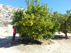 Diane picking some lemons from one of the many community tree's.