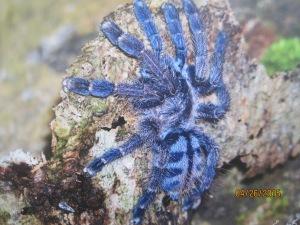 A Blue Tarantula