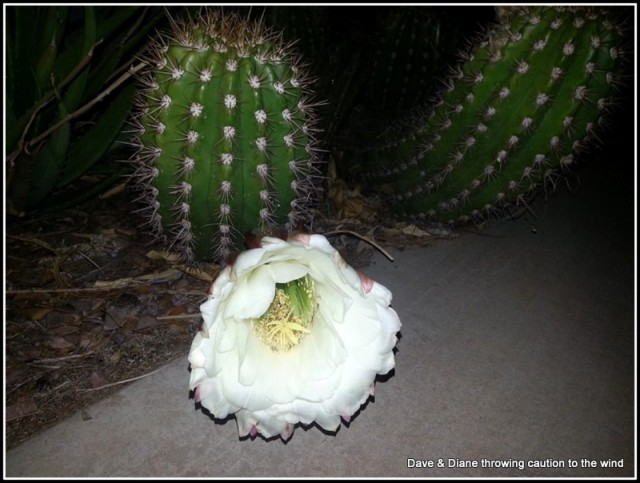We saw this cactus flowering during one of our evening walks.